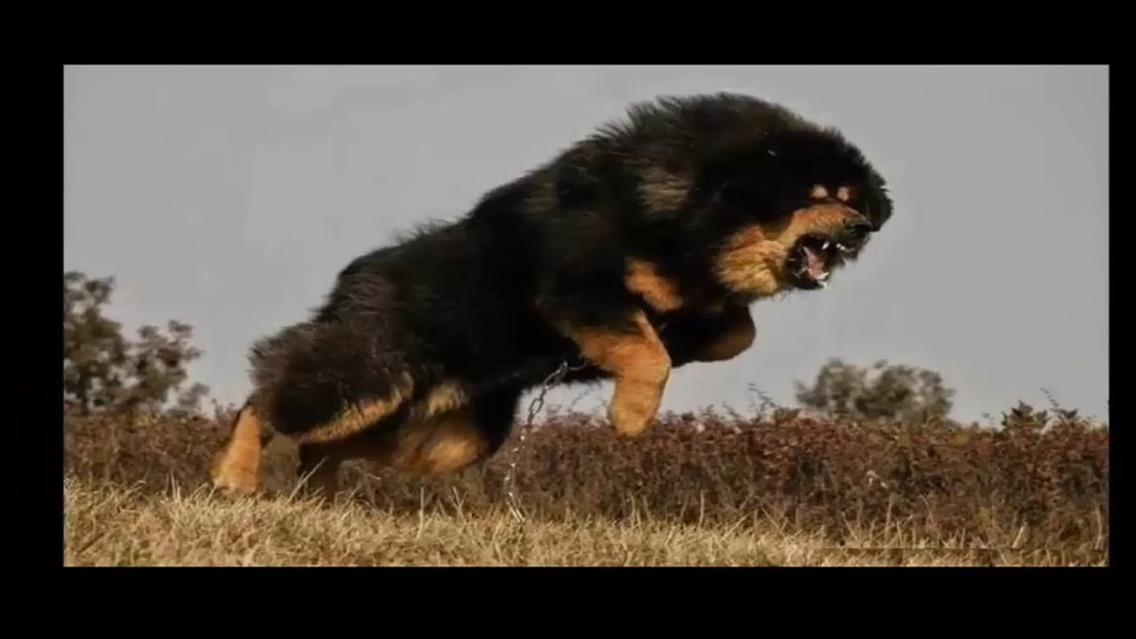 Top 30 biggest guard dogs in the world 2016 youtube for What are the best dogs in the world