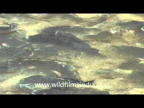 splashing-fins:-fish-of-god,-nageshwar-temple---dwarka