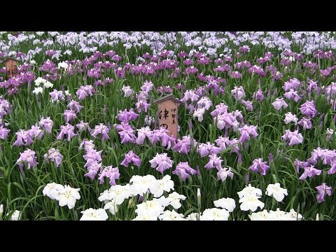 【Osaka】山田池公園の花しょうぶ Iris at Yamada Pond Park