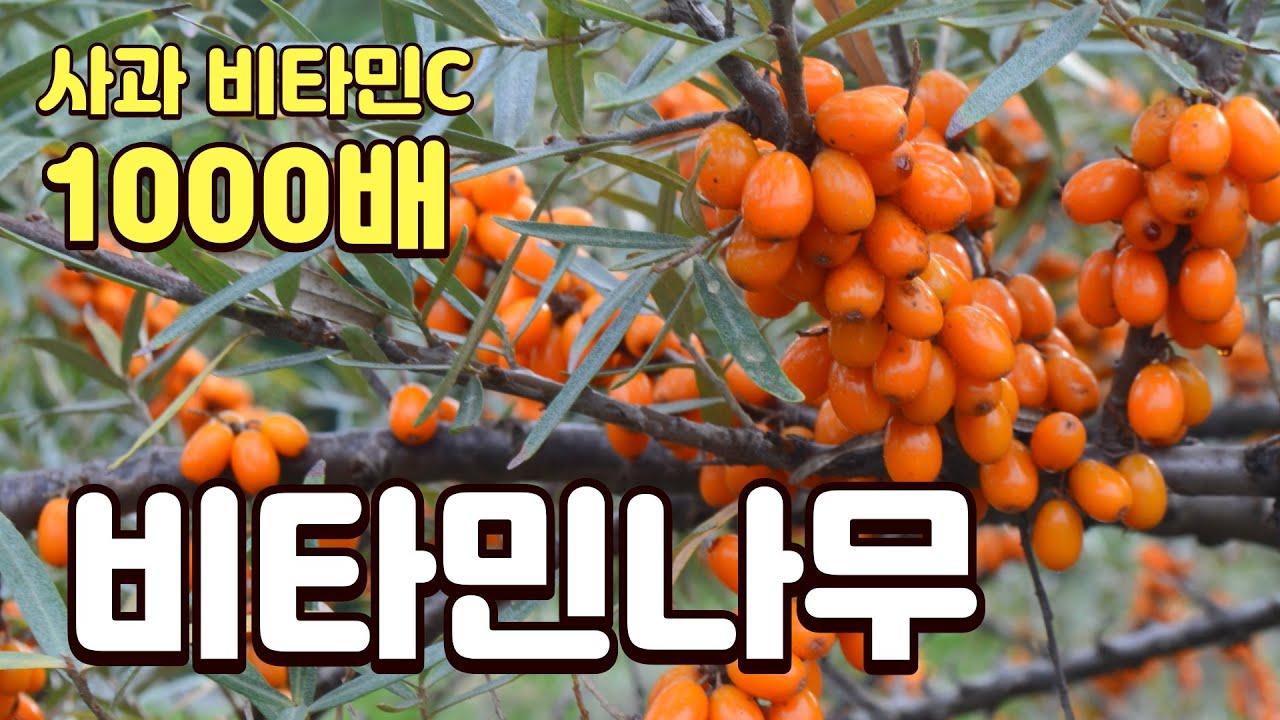 꾸지뽕 뽑아내고 비타민나무 2000평 심은 이유