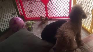 Toy Poodle Mating-Breeding-Dog Love-Stud Service