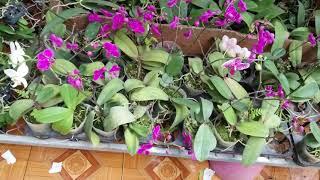 Tối 28/3 đuôi cáo hoa tím hàng giề khủng và một số lan khác giá rẻ . 0348886368