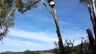 Forest Truck Jamul Tree Removal Services Cutting down Eucalyptus part 4