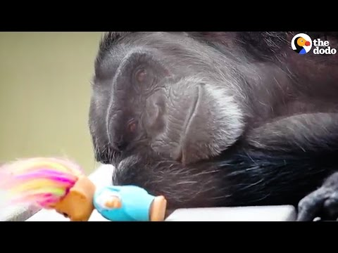 Rescued Chimp Takes Comfort In Her Dolls | The Dodo