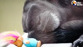 Rescued Chimp Takes Comfort In Her Dolls   The Dodo