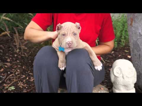 ADOPT ME! Frances McSprout, an 8-week old pit bull puppy