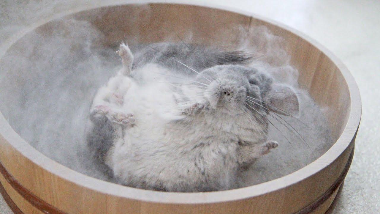 Epic Chinchilla Dust Bath in 4k Ultra High Definition! - YouTube
