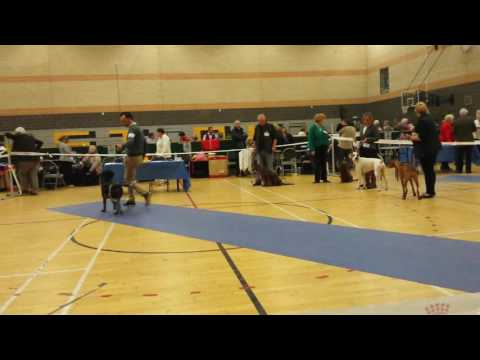 German Wirehaired Pointer Eva (Benreeda Ain't Misbehaven) East Cleveland Dog Show 2015