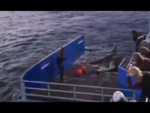 Great white shark Mary Lee caught, tagged and released