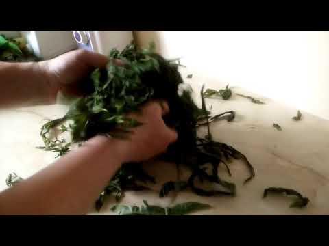 0 Скручивание листьев иван чая