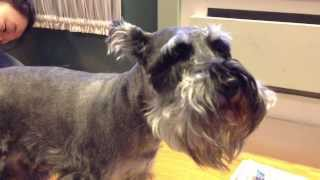 My Whimpering Whiskey! (miniature Schnauzer)