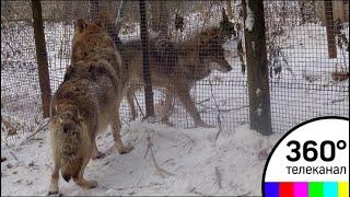 В Подмосковье появился приют для волков
