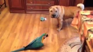 Попугай ара пристает к собаке