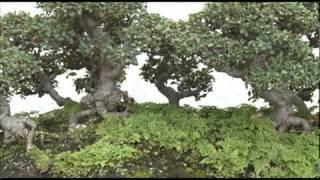 400 -Year-Old Bonsai Survived Hiroshima Bombing