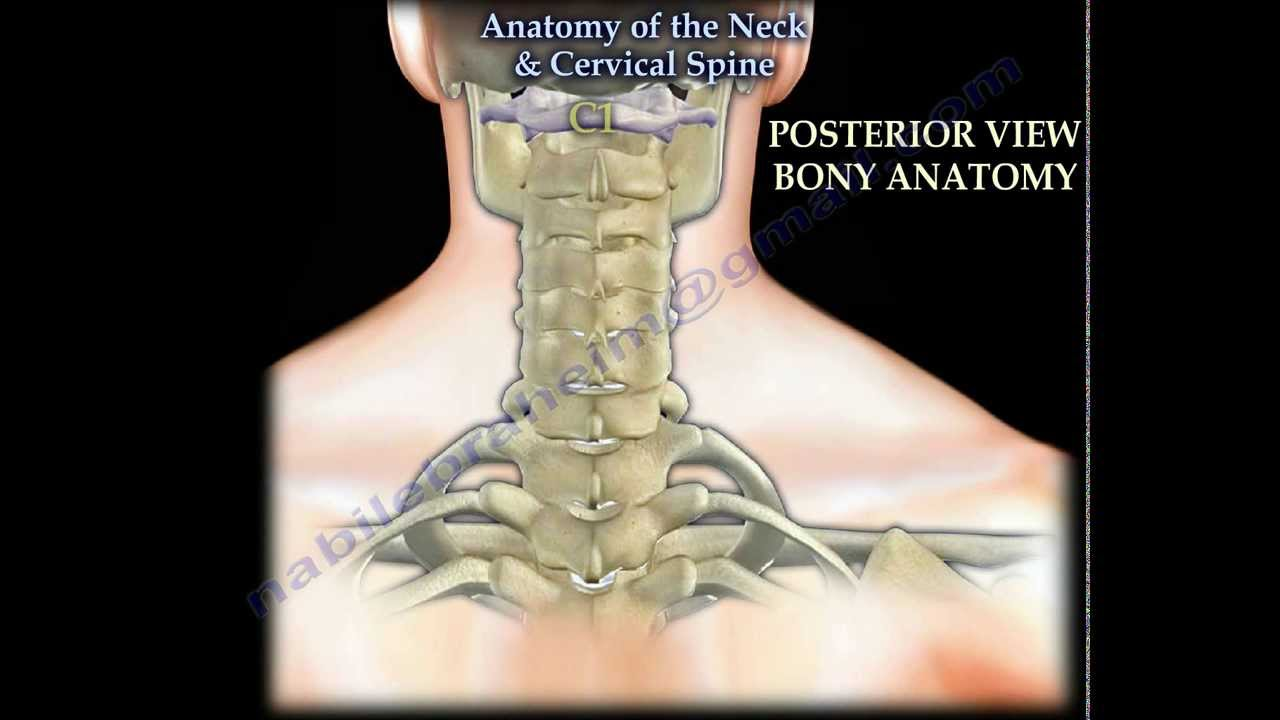 Anatomy Of The Neck & Cervical Spine - Everything You Need To Know ...