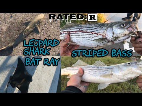 Hayward Fishing | BatRay | Leopard Shark | Stripers AKA Striped Bass