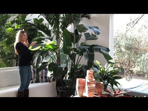 Plant Care 101:  Bird Of Paradise | Strelizia Nicolai