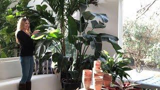 العناية بالنبات 101: طائر الجنة | ستريليزيا نيكولاي