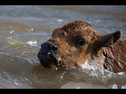 Yellowstone bison calf nearly drowns in wild river