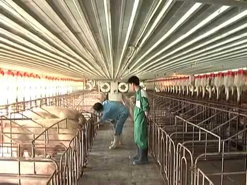 TTNN Kỹ thuật thụ tinh nhân tạo cho lợn
