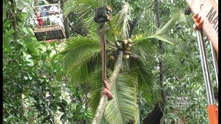House owner cuts dangerous coconut tree from his house