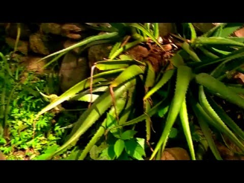 Raw Aloe Vera Organic Farm Nature Videos Ambient Music Background