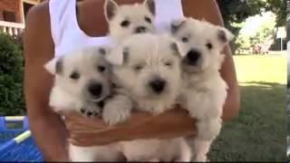 Filhotes West Highland White Terrier Canil Webrip Lks] Mkv