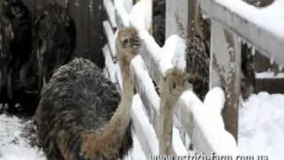 Страусы едят снег