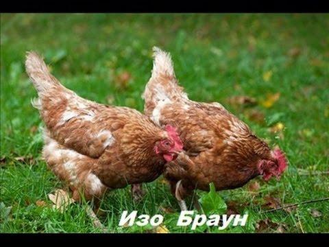 Куры хайсекс лонгбраун