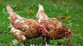 Продажа сельскохозяйственных животных енакиево. В сервисе объявлений olx. Ua легко и быстро можно купить сельхоз животных. Покупай сельхоз животных на. Продам несушек. Животные » сельхоз животные. 150 грн. Енакиево. Сегодня 09:30. В избранные. Ниппельная поилка для кур, перепелов.