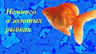 Золотая рыбка, ( немного о золотых рыбках)