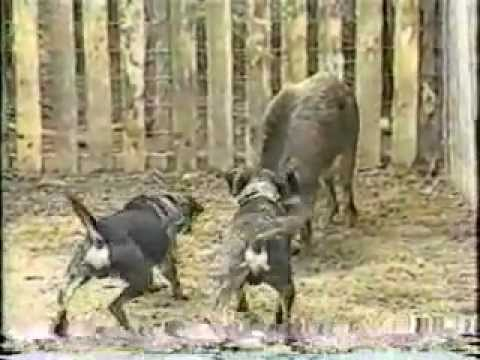 Catahoula With Wild Boar