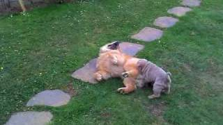 Chow Chow And Shar-pei Puppy Playing.mp4