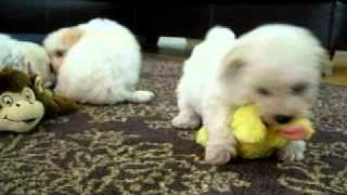 Bichon Frise Puppies Playing