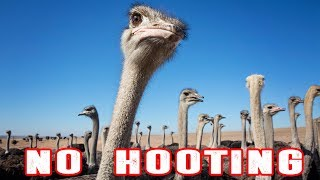 Ostriches getting LAID - Episode 22