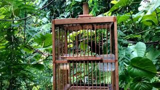 Kolibri ninja ngobra mikat lawan di hutan