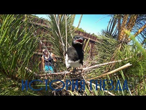 Гнездо Сороки Жестокая Природа