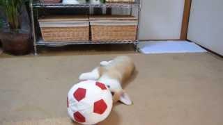 マリーママのお家から頂いたボールで遊んでいます。かなり疲れてきたと...