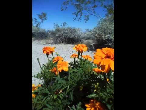 USA California Mojave National Preserve April 18 2015 Open with Annuals 2