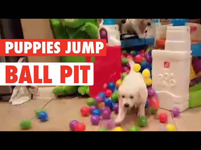 Hyper Golden Pups Splashing in Ball Pit