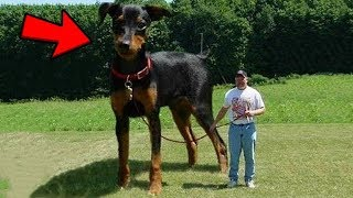 Abnormally Large Animals That Are ACTUALLY REAL!