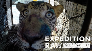 Rescuing a Fierce Leopard  See What It Takes | Expedition Raw