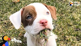 Loved Pit Bull Dog Honored In The Best Way Possible   The Dodo Pittie Nation thumbnail