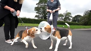 Cute Dog and Little Girl Welcoming Beagle Sis After Heart Surgery   Dogs are Family