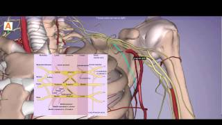 Axilla Anatomy - Brachial Plexus, Arteries, Muscles