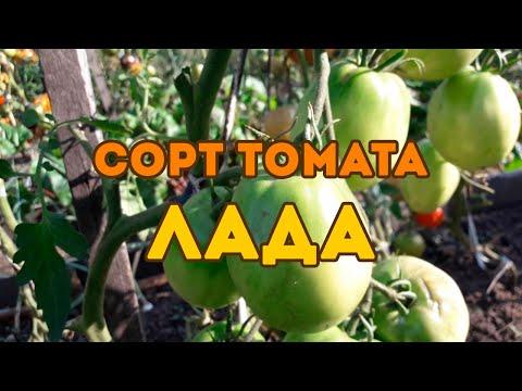 Сорт томата Лада! Полный видео обзор | томатов_2020 | открытого | томатов | протажа | продажа | томаты | томата | сибири | семена | лучшие