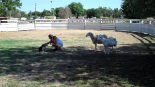 Jason Herding Sheep -  Nola Jones
