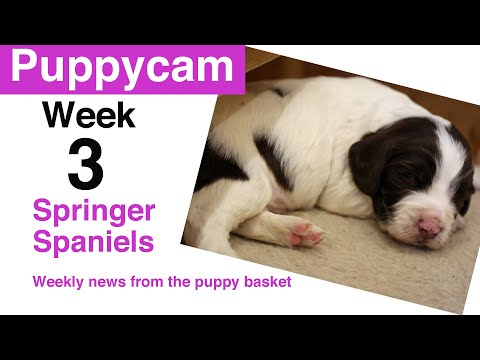 Springer Spaniel Puppies | Week 3 in the puppy pen
