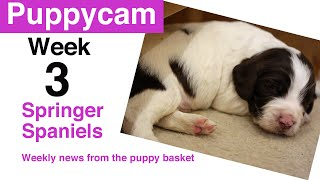 Springer Spaniel Puppies | Week 3 in the puppy pen