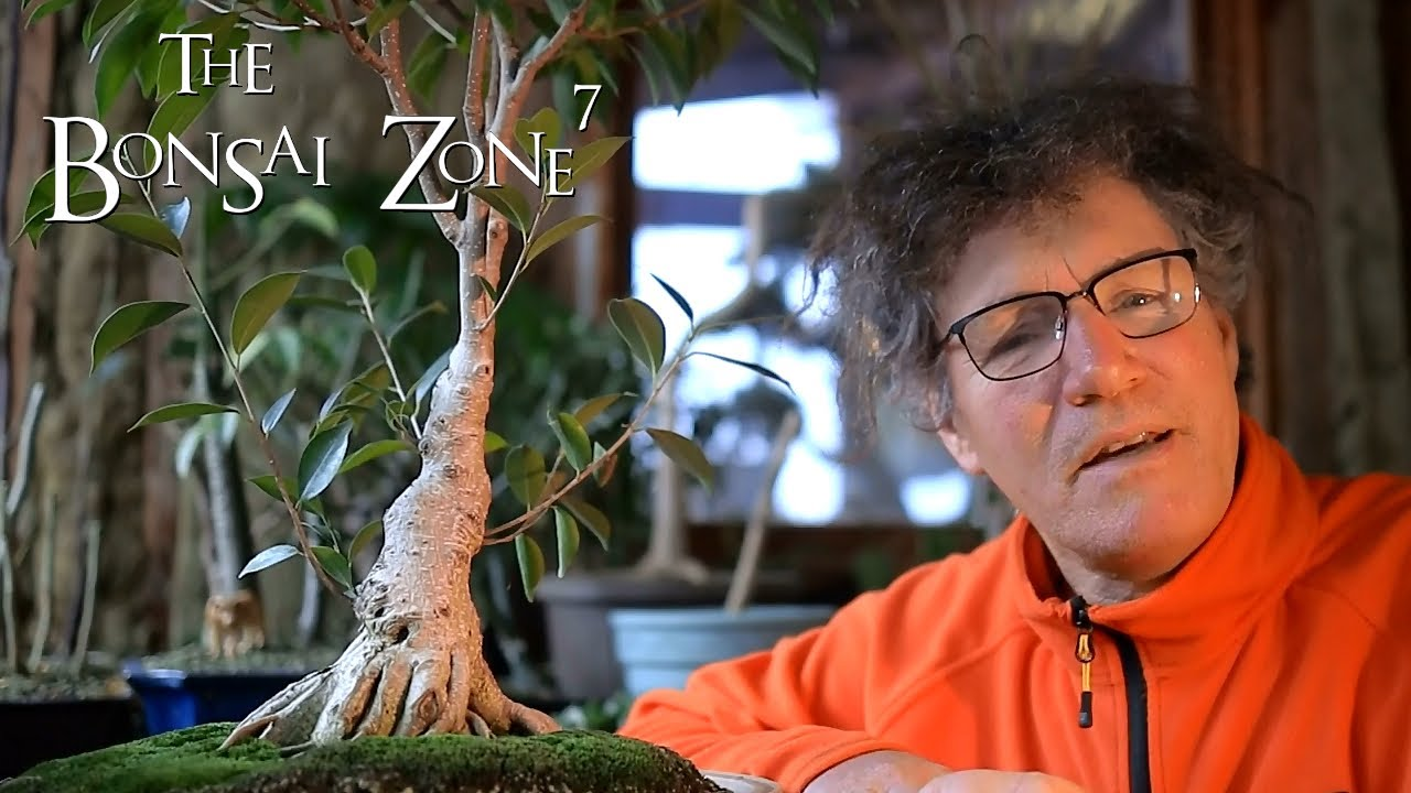 Pruning My Avatar Style Ficus Bonsai The Bonsai Zone Dec 2020 Youtube